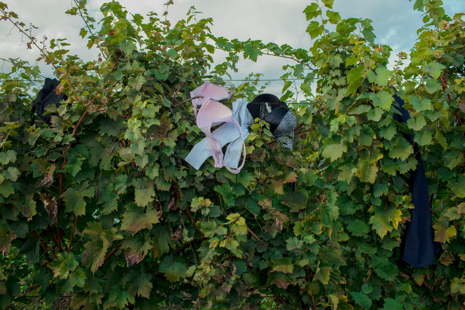 Bapska, Croatia - October 5, 2015: An abandoned bra hangs on a wineyard, which serves as visual isolation to refugees and asylum seekers in need of a toilet or changing room as they crossed into Croatia from Serbia.